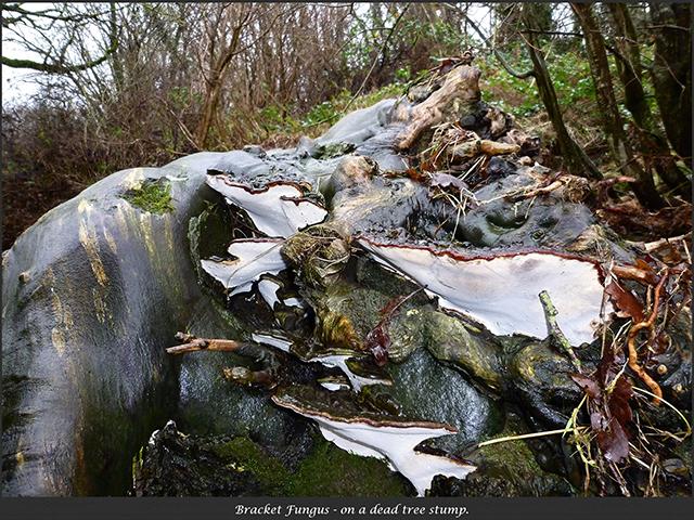 Bracket Fungii at Mochdre Brook