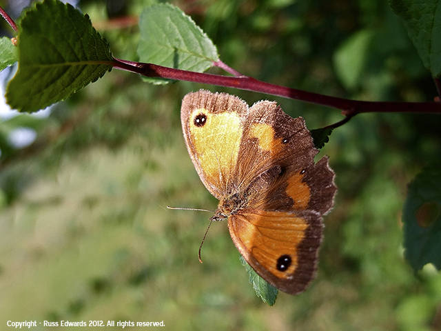Gatekeeper Butterfly at Trehafren