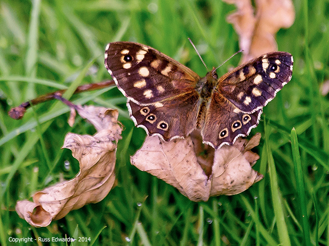 Speckled Wood Butterfly seen at Vaynor.