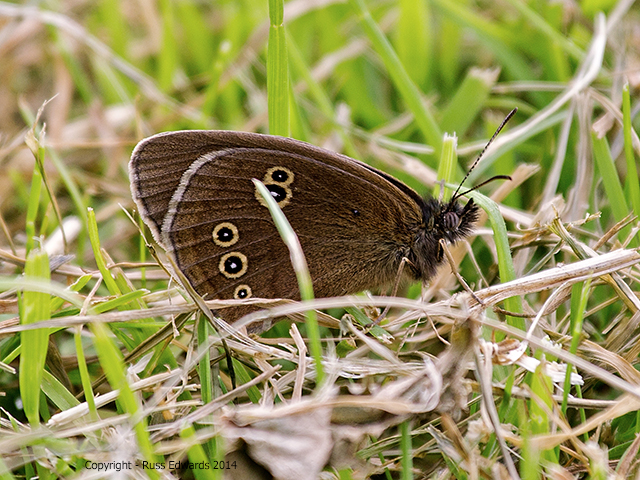 Ringlet Butterfly seen at Trehafren.