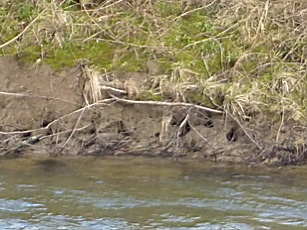 Crayfish burrows?