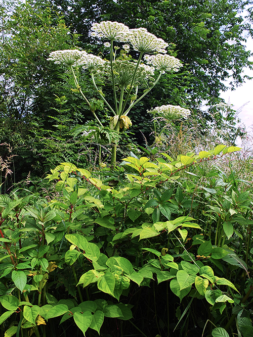 Giant Hogweed & Japanese Knotweed.