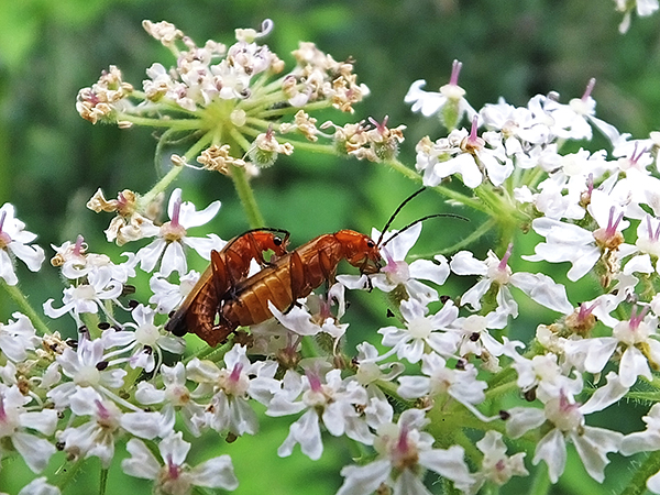 Hogweed Bonking Beetle.