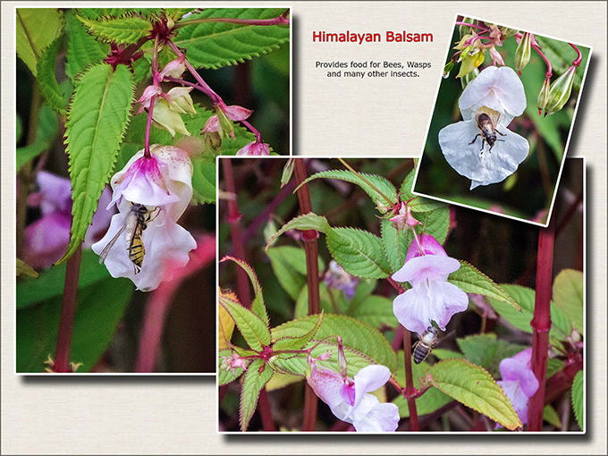 Himalayan Balsam and Insects.