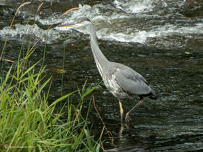 Grey Heron at Dolerw Bridge.