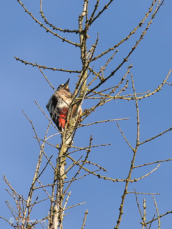 Great Spotted Woodpecker at Trehafren