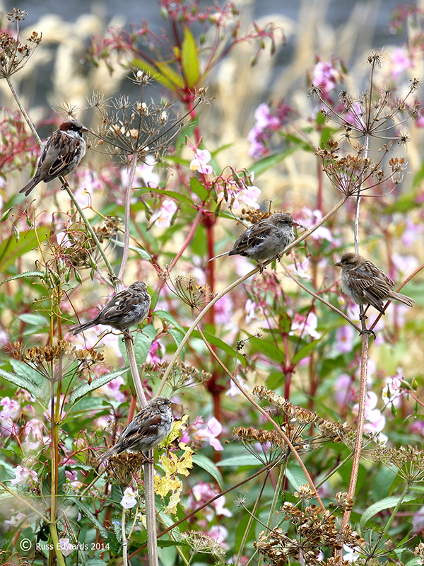Sparrows feeding on seed heads.