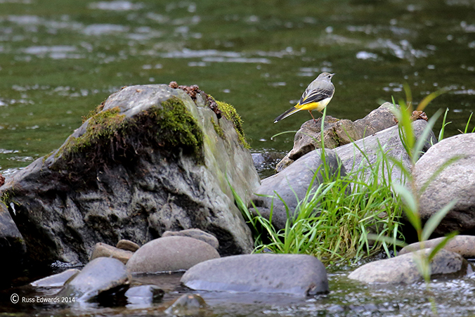 Grey Wagtail surveying its territory at Vaynor.