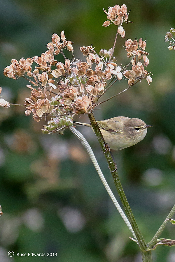 A Chiffchaff feeding on the seed heads.