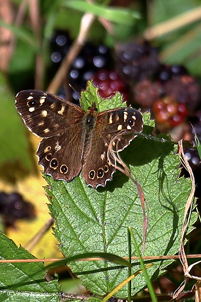 Speckled Wood Butterfly at Trehafren.