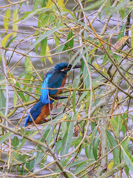 Kingfishers by St. Mary's Church.