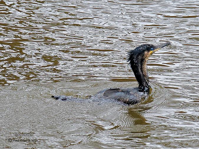 Cormorant at Trehafren