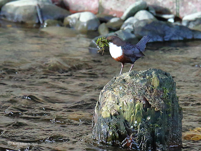 Dipper with nesting material.