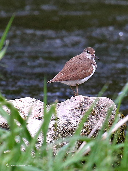 Common Sandpiper at Mochdre Brook.