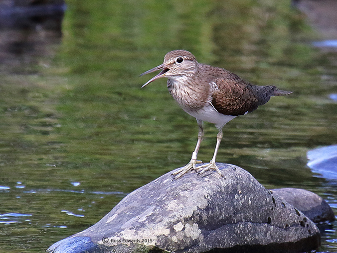 Common Sandpiper calling to the chick.