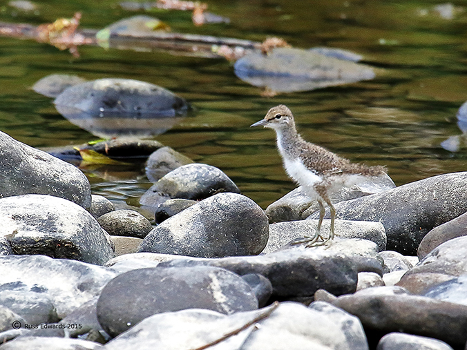 Common Sandpiper chick seen at Vaynor.
