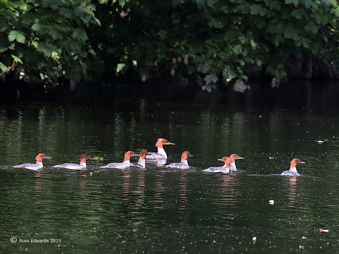 Goosander mother with her brood.