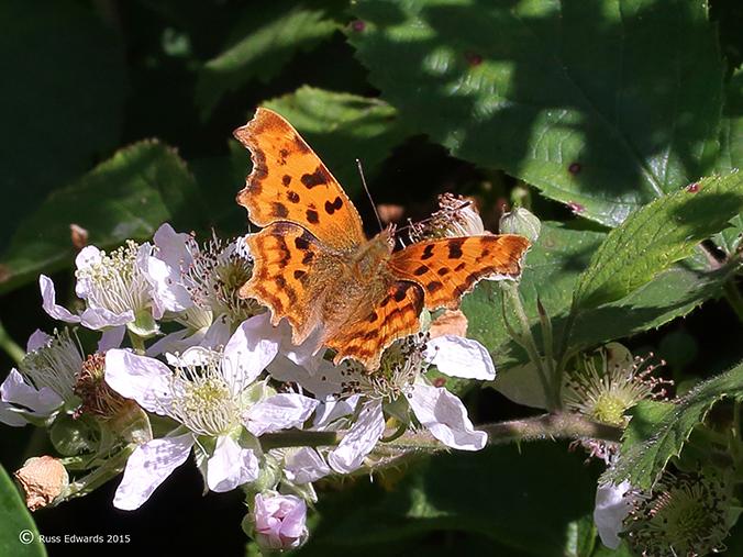 Comma Butterfly seen at Trehafren.