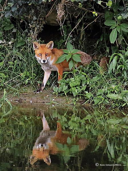 Juvenile Fox seen at Vaynor.