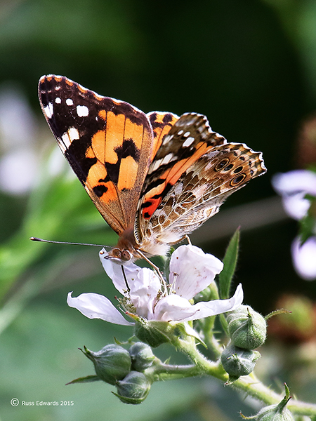 Painted Lady Butterfly seen at Trehafren.