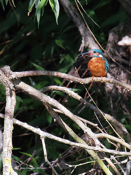 Male Kingfisher seen at Mochdre Brook junction.