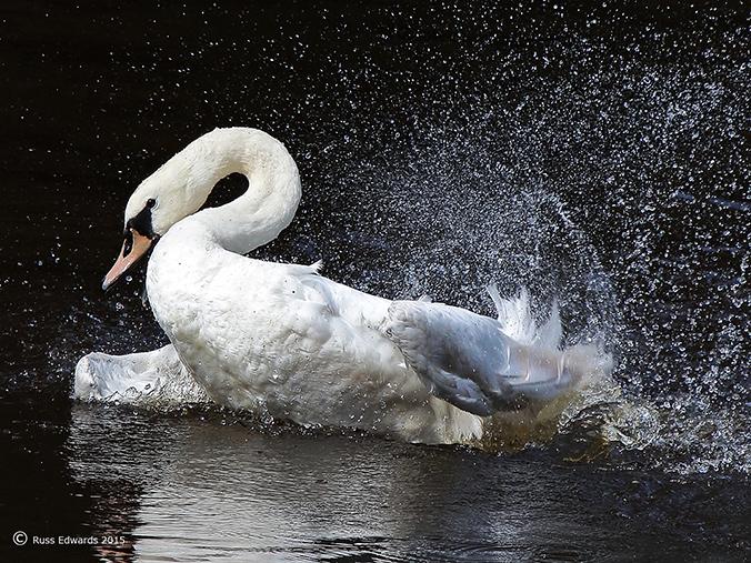 Mute Swan seen at Trehafren.