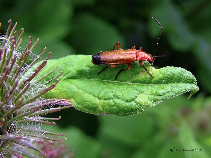 Red Soldier Beetle seen at Trehafren.