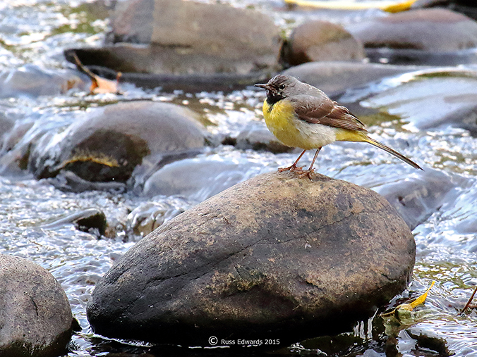 A breeding male Grey Wagtail.