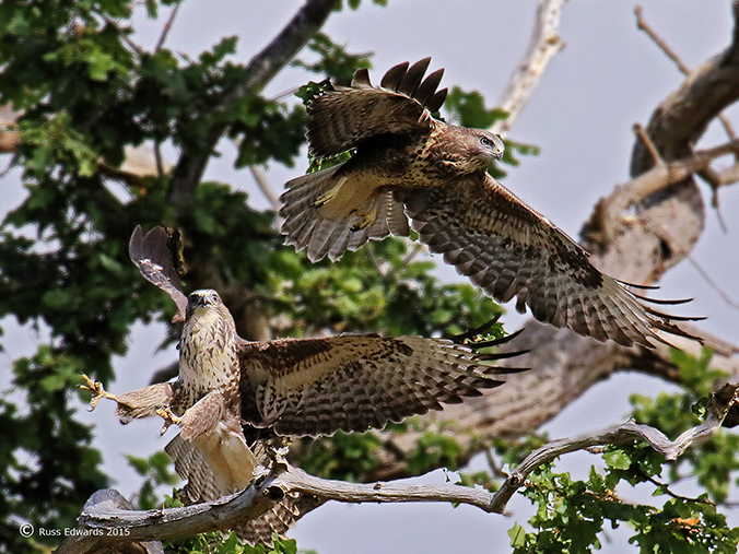 A pair of young Buzzards.