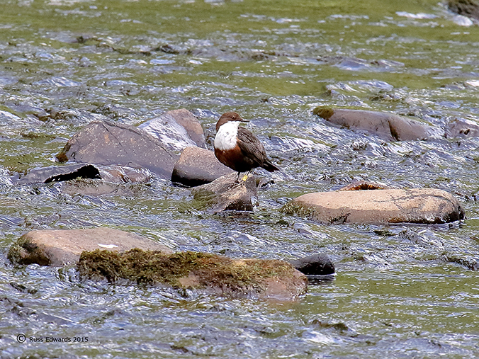 Dipper J81 on the river Severn at Vaynor.