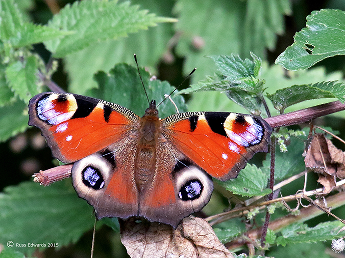 Peacock butterfly at Vaynor.