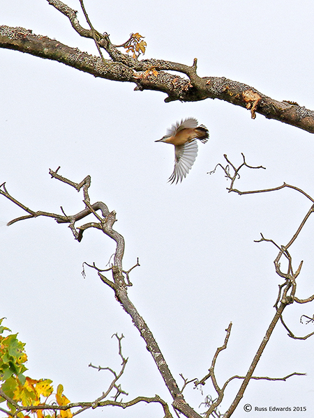 Nuthatch in the tree tops.