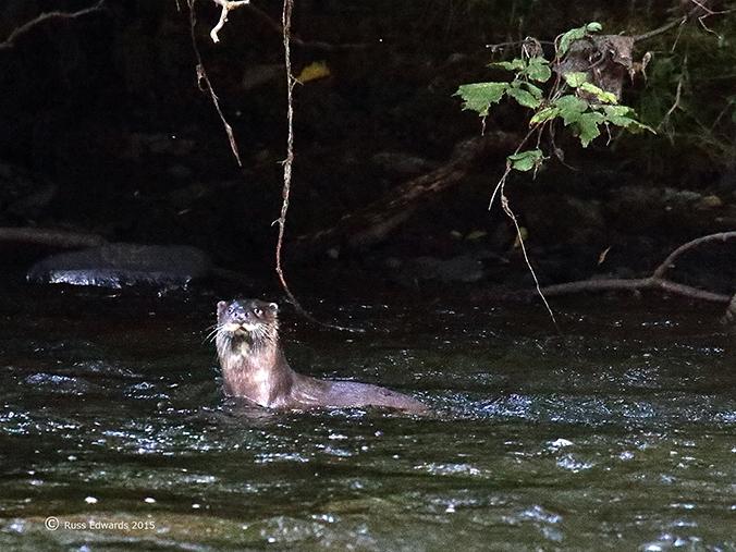 Dog Otter.