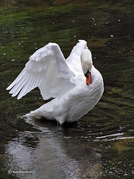 Mute Swan preening at Trehafren.