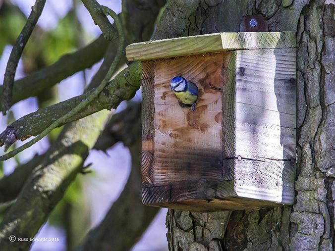 Blue Tit using nest box in Dolerw.
